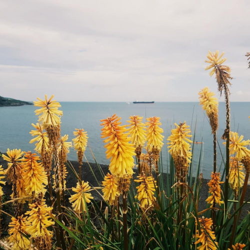 A sea view with red hot poker flowers in the foreground