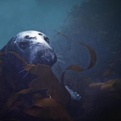 Grey Seal off the Cornish coast by Matt Frost.