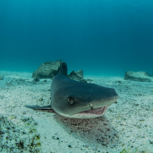 Shark in the Galapagos
