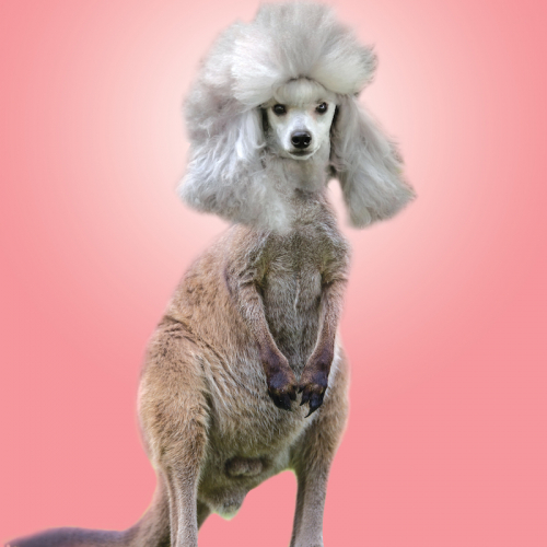 A poodle with huge hair