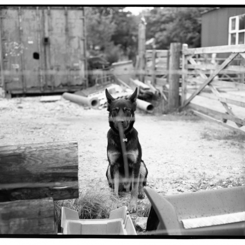 Black and white photo of a german shepherd dog outside