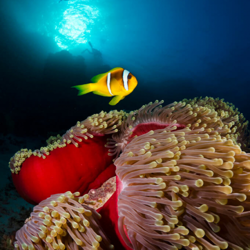 Clown fish and sea anemone in the foreground, divers and bright blue light in distance.